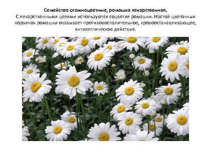 Семейство сложноцветные, ромашка лекарственная. С лекарственными целями используются соцветия ромашки. Настой цветочных корзинок ромашки