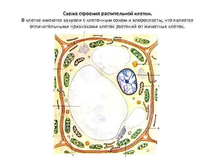 Схема строения растительной клетки. В клетке имеются вакуоли с клеточным соком и хлоропласты, что
