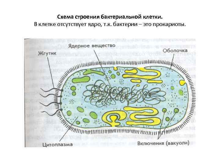 Схема строения бактериальной клетки. В клетке отсутствует ядро, т. к. бактерии – это прокариоты.