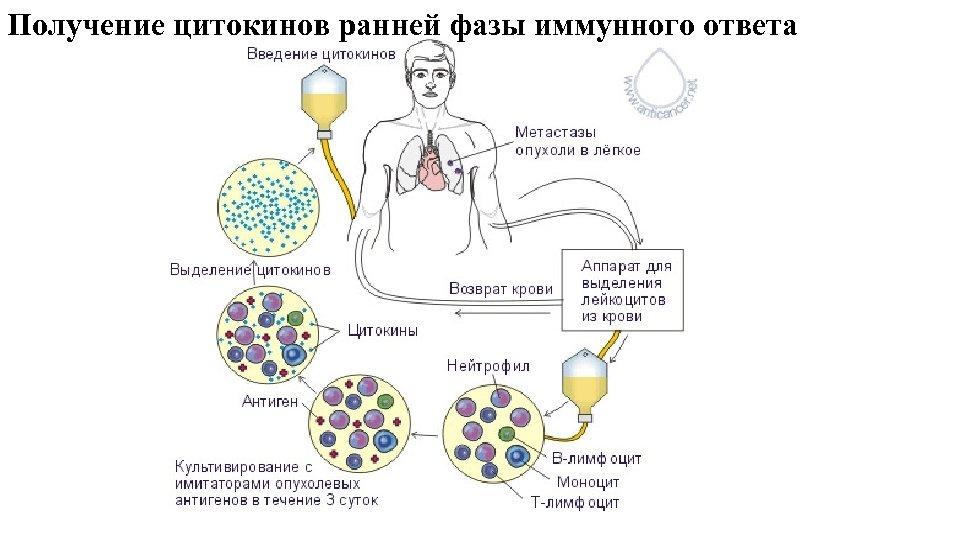 Получение цитокинов ранней фазы иммунного ответа
