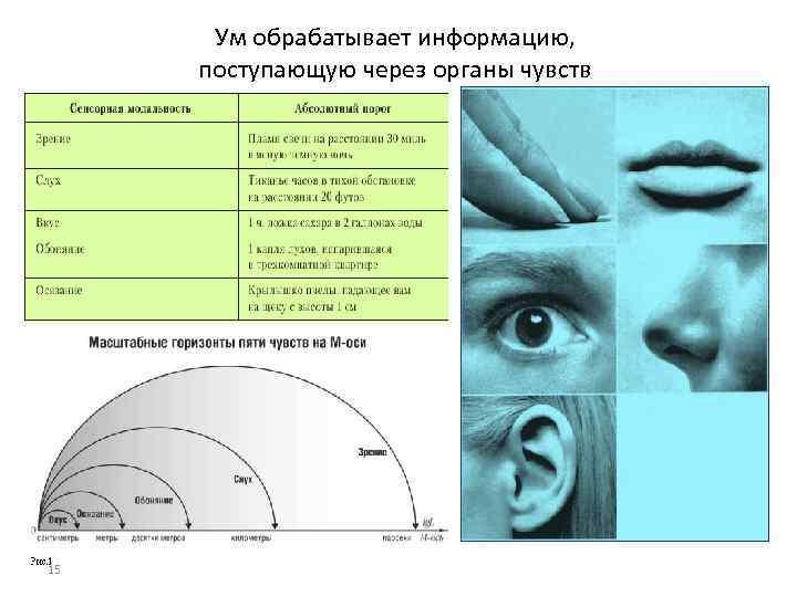 Ум обрабатывает информацию, поступающую через органы чувств 15