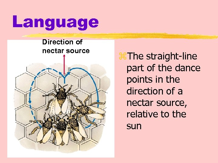 Language Direction of nectar source z. The straight-line part of the dance points in