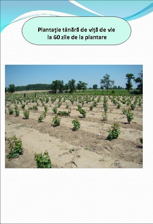 Plantaţie tânără de viţă de vie la 60 zile de la plantare