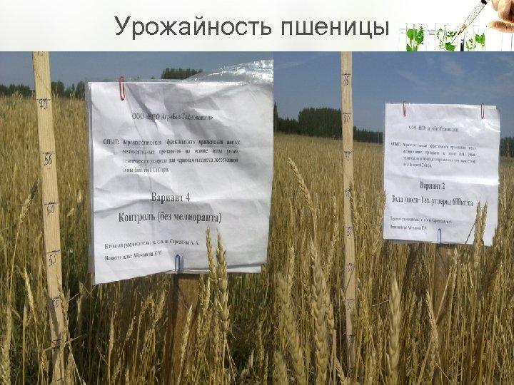 Урожайность пшеницы
