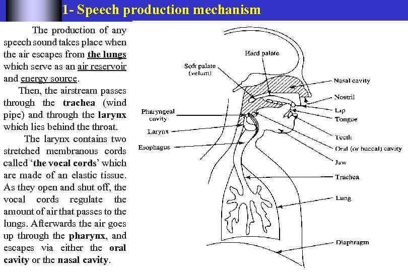Speech mechanism | Coursework Writing Service tihomeworksfnm ...