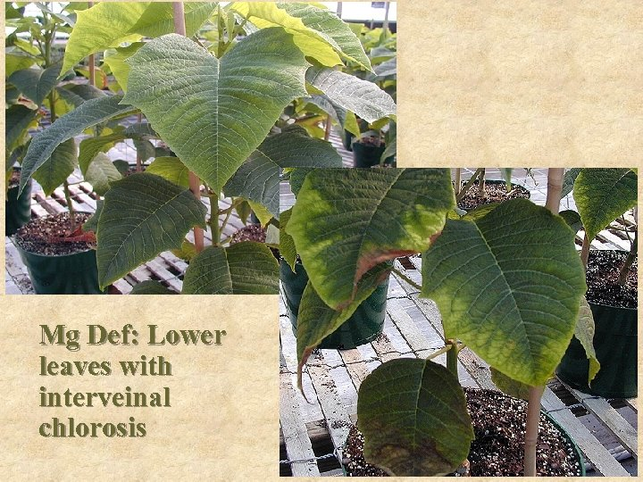 Mg Def: Lower leaves with interveinal chlorosis