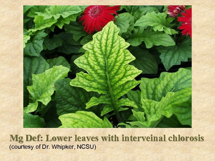 Problems Mg Def: Lower leaves with interveinal chlorosis (courtesy of Dr. Whipker, NCSU)
