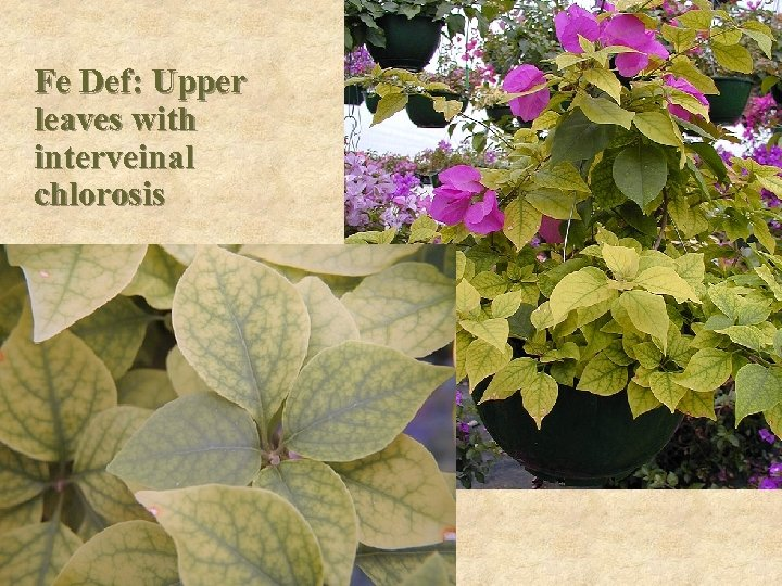 Fe Def: Upper leaves with interveinal chlorosis
