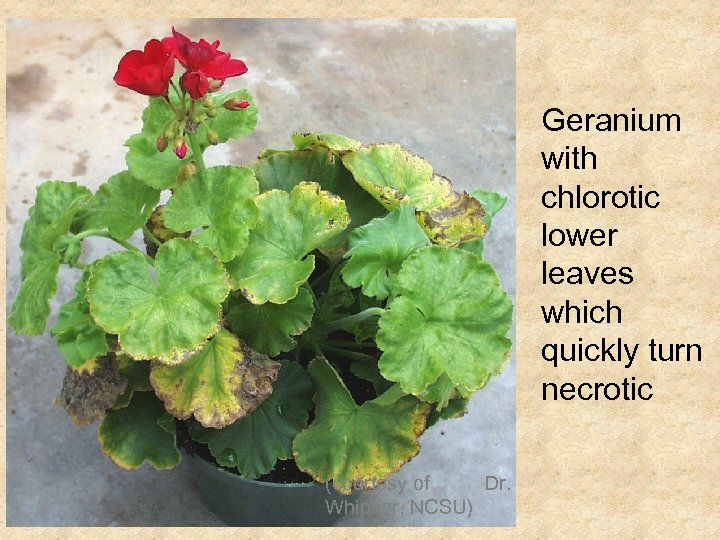 Geranium with chlorotic lower leaves which quickly turn necrotic (courtesy of Dr. Whipker, NCSU)