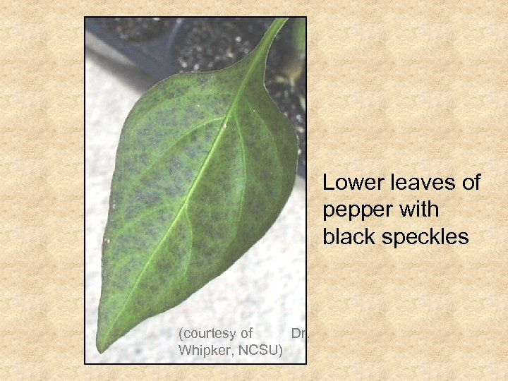 Lower leaves of pepper with black speckles (courtesy of Dr. Whipker, NCSU)