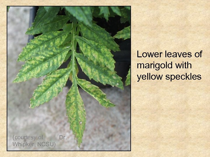 Lower leaves of marigold with yellow speckles (courtesy of Dr. Whipker, NCSU)