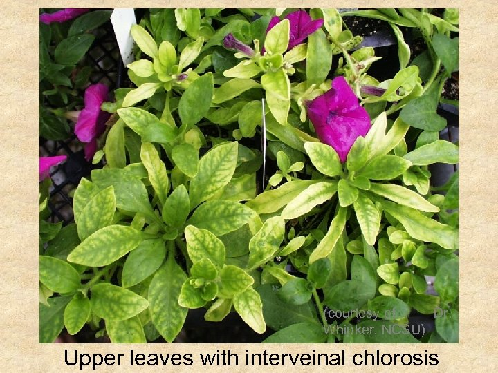 (courtesy of Dr. Whipker, NCSU) Upper leaves with interveinal chlorosis