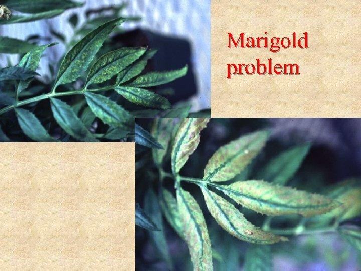 Marigold problem