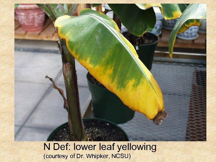 N Def: lower leaf yellowing (courtesy of Dr. Whipker, NCSU)