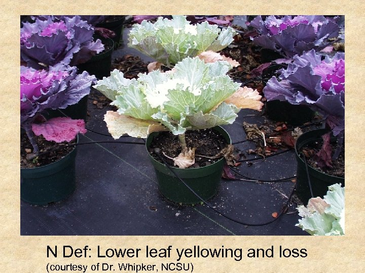 N Def: Lower leaf yellowing and loss (courtesy of Dr. Whipker, NCSU)