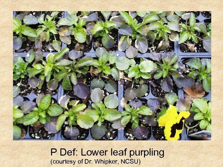 P Def: Lower leaf purpling (courtesy of Dr. Whipker, NCSU)