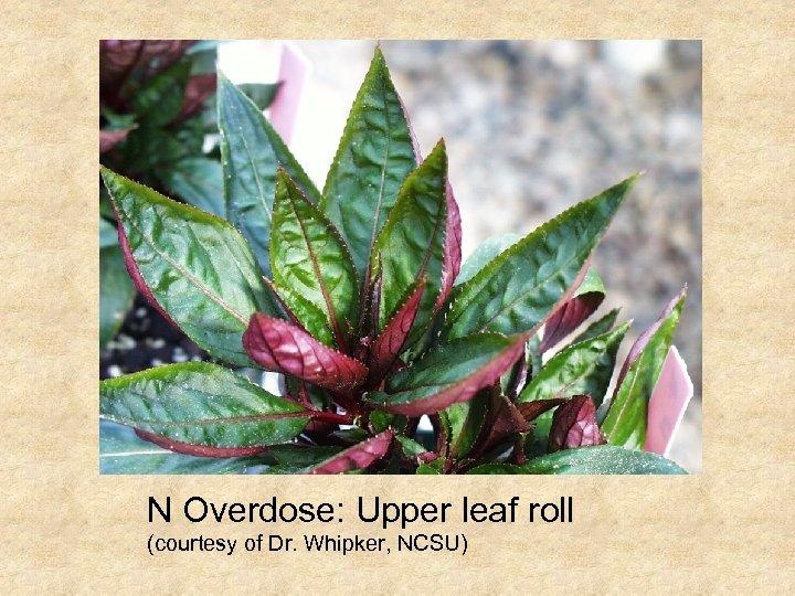 N Overdose: Upper leaf roll (courtesy of Dr. Whipker, NCSU)
