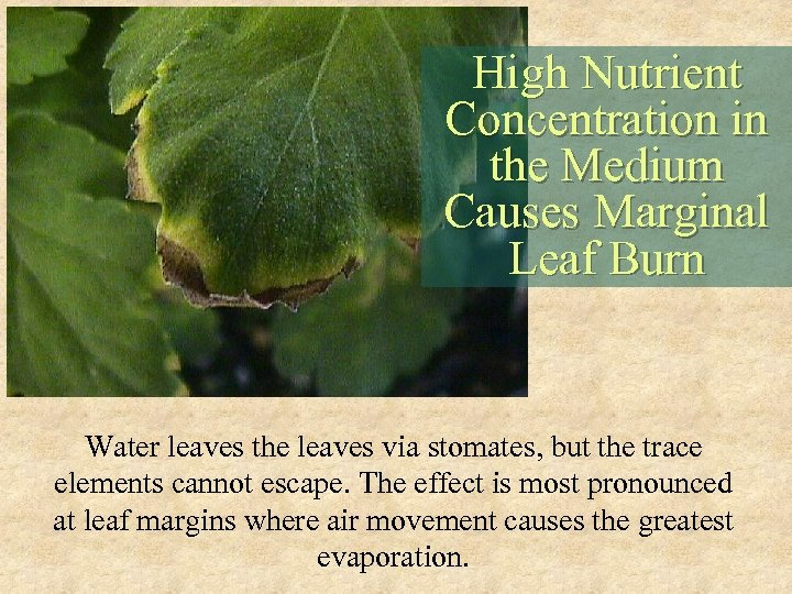 High Nutrient Concentration in the Medium Causes Marginal Leaf Burn Water leaves the leaves