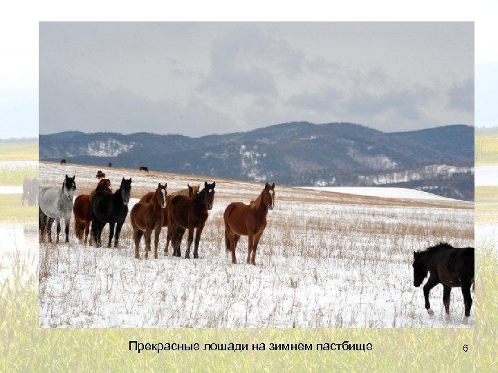 Прекрасные лошади на зимнем пастбище 6