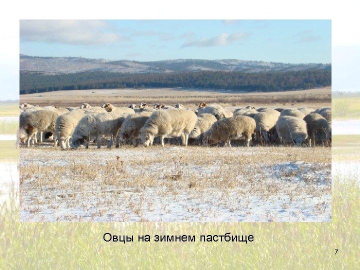 Овцы на зимнем пастбище 7