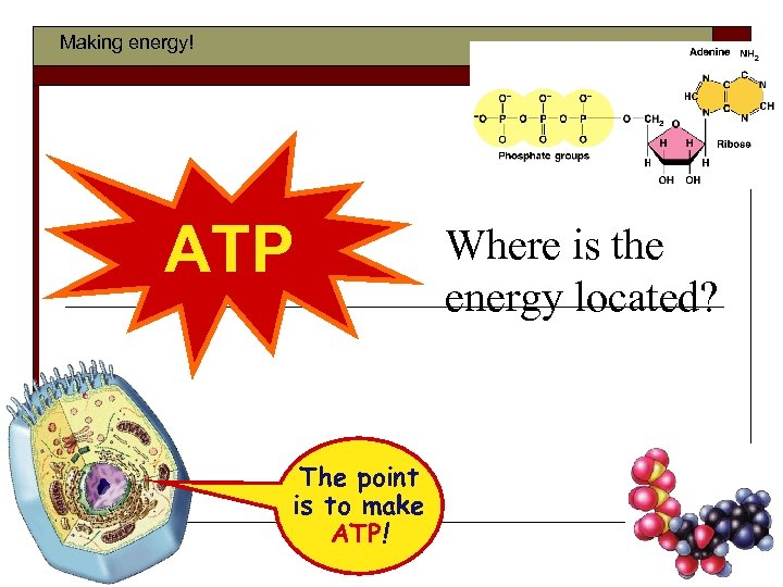 Making energy! ATP The point is to make ATP! Where is the energy located?