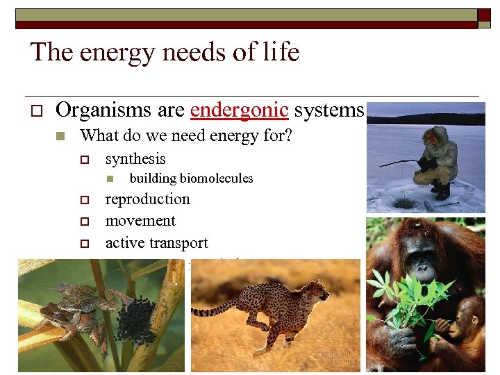 The energy needs of life o Organisms are endergonic systems n What do we