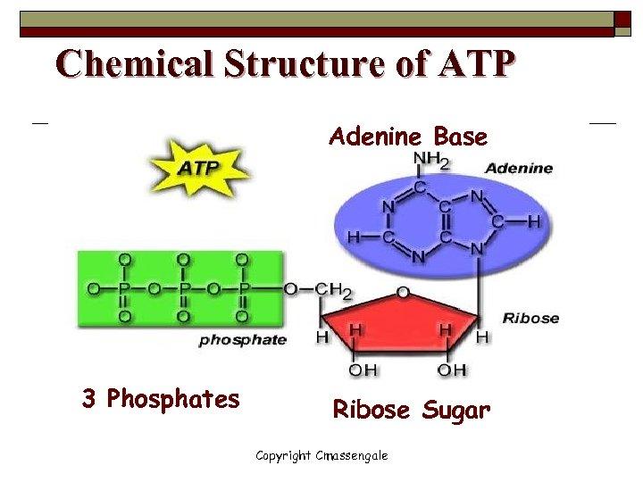 Chemical Structure of ATP Adenine Base 3 Phosphates Ribose Sugar Copyright Cmassengale