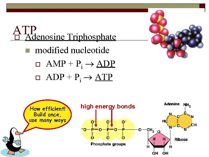ATP o Adenosine Triphosphate n modified nucleotide o AMP + Pi ADP o ADP