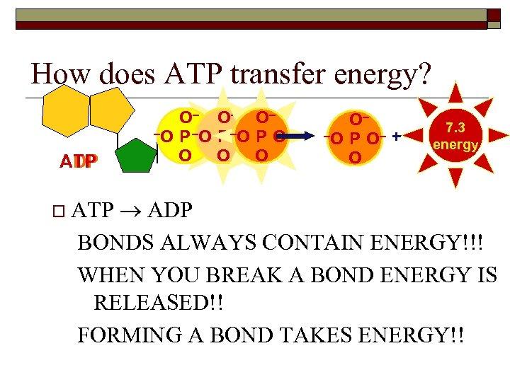 How does ATP transfer energy? ADP ATP O– O– O– –O P –O– P