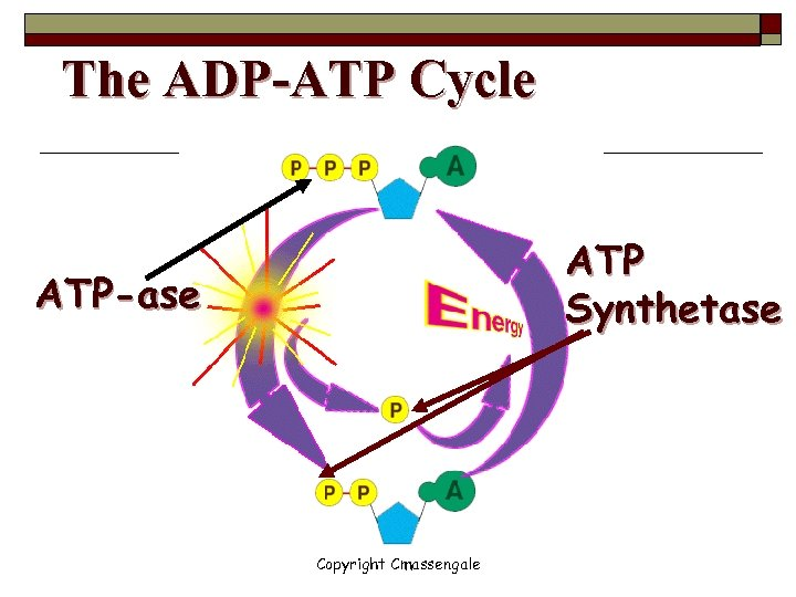 The ADP-ATP Cycle ATP Synthetase ATP-ase Copyright Cmassengale