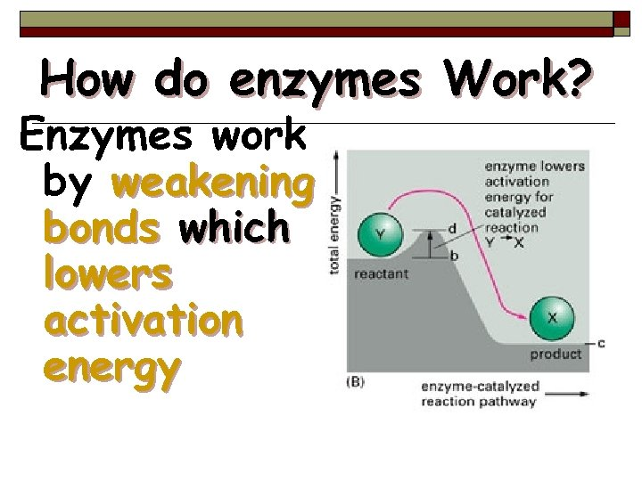 How do enzymes Work? Enzymes work by weakening bonds which lowers activation energy 53
