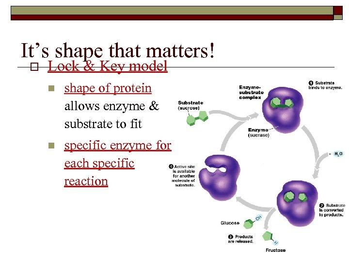 It's shape that matters! o Lock & Key model n shape of protein allows