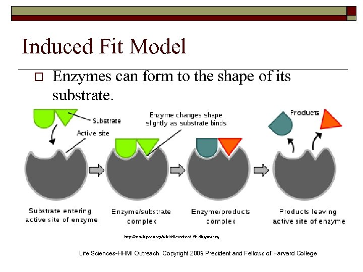 Induced Fit Model o Enzymes can form to the shape of its substrate. http:
