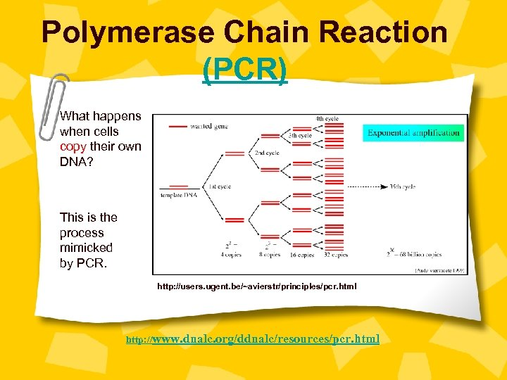 Polymerase Chain Reaction (PCR) What happens when cells copy their own DNA? This is