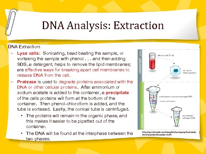 DNA Analysis: Extraction DNA Extraction: – Lyse cells: Sonicating, bead beating the sample, or