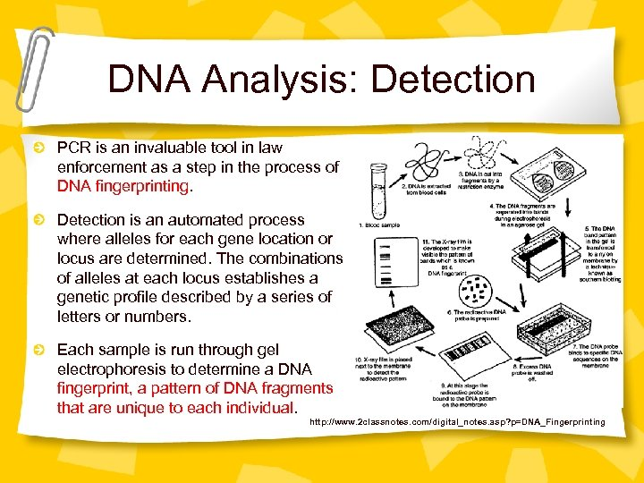 DNA Analysis: Detection PCR is an invaluable tool in law enforcement as a step