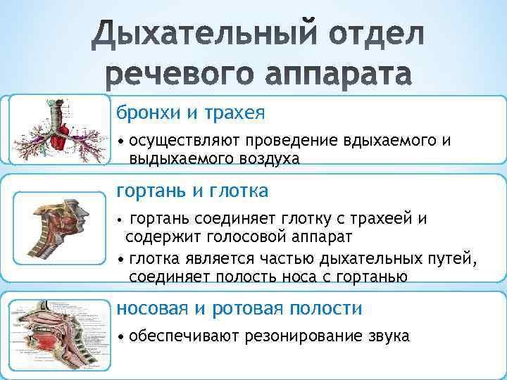 бронхи и трахея • осуществляют проведение вдыхаемого и выдыхаемого воздуха гортань и глотка гортань