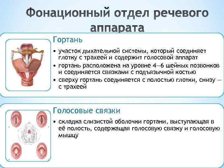 Гортань • участок дыхательной системы, который соединяет глотку с трахеей и содержит голосовой аппарат