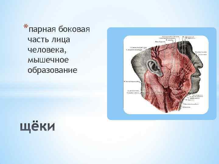 *парная боковая часть лица человека, мышечное образование