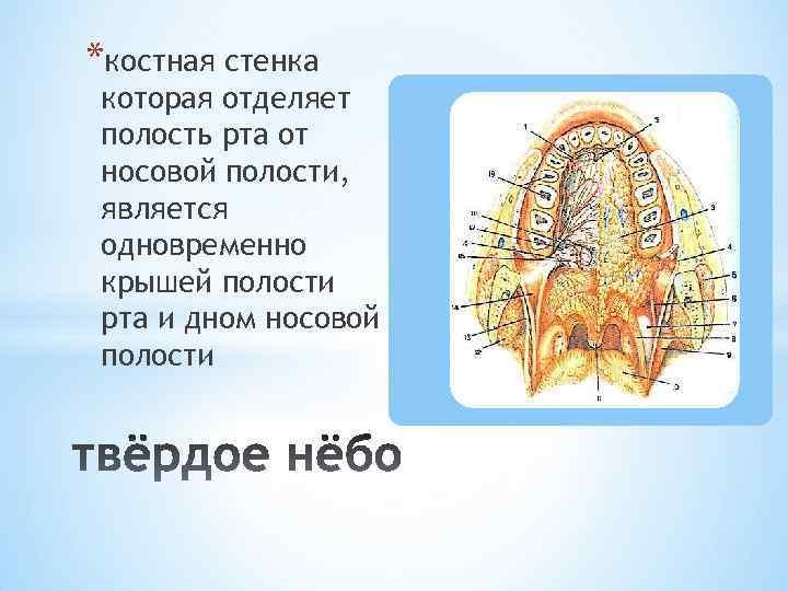 *костная стенка которая отделяет полость рта от носовой полости, является одновременно крышей полости рта