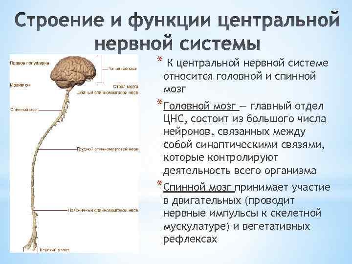 * К центральной нервной системе относится головной и спинной мозг *Головной мозг — главный