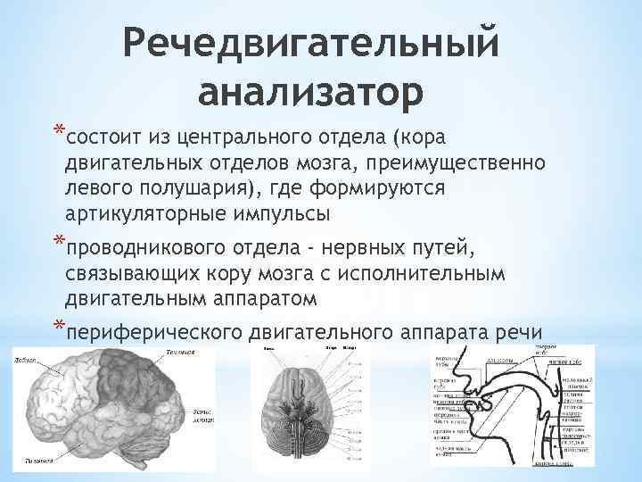 Речедвигательный анализатор *состоит из центрального отдела (кора двигательных отделов мозга, преимущественно левого полушария), где