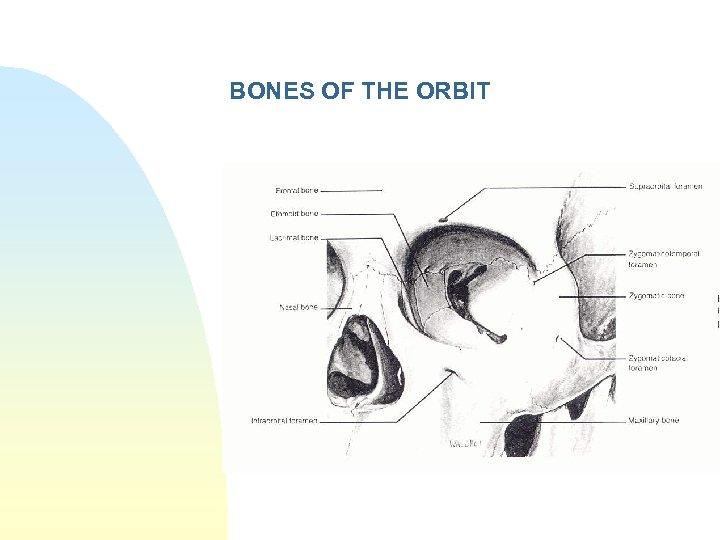BONES OF THE ORBIT