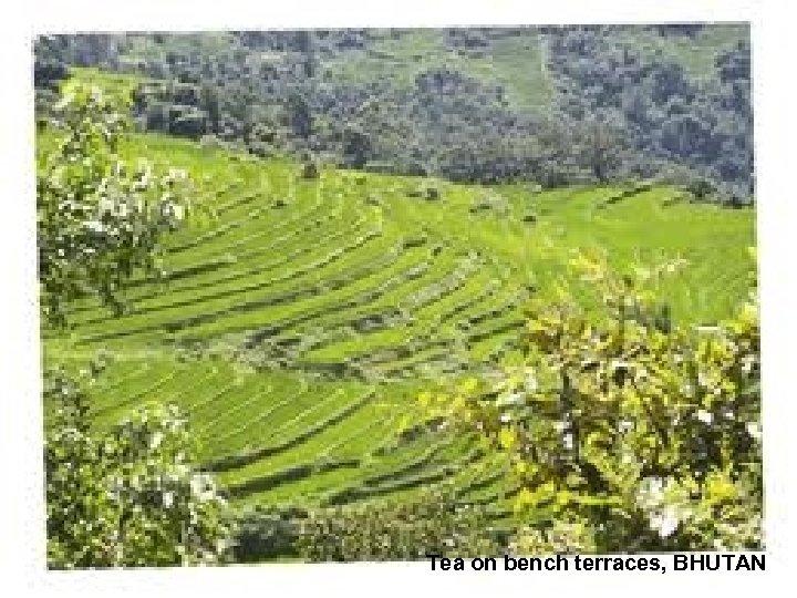 Tea on bench terraces, BHUTAN