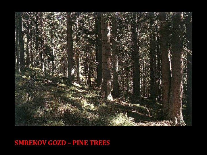 SMREKOV GOZD – PINE TREES