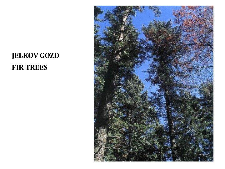 JELKOV GOZD FIR TREES