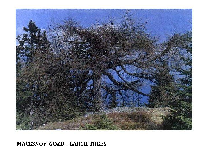 MACESNOV GOZD – LARCH TREES