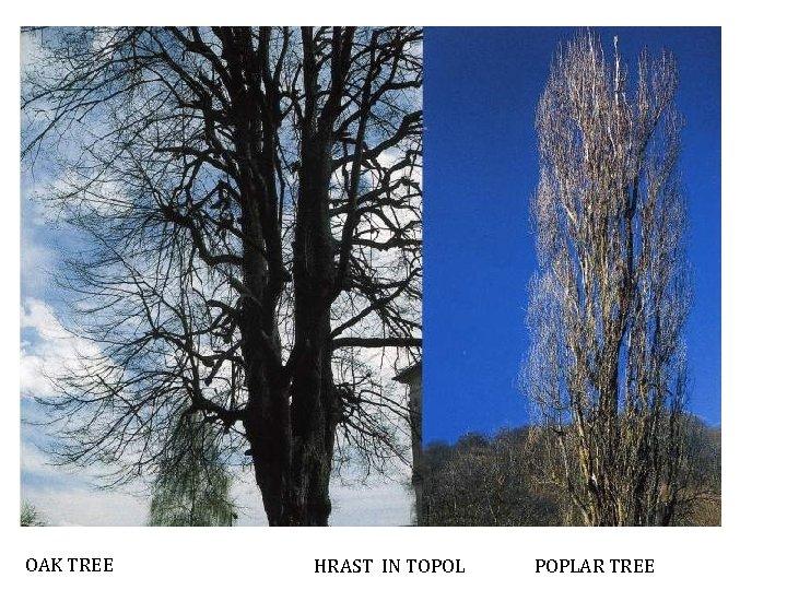 OAK TREE HRAST IN TOPOL POPLAR TREE