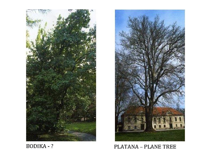 BODIKA - ? PLATANA – PLANE TREE