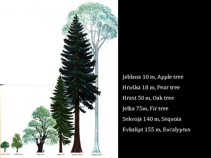 Jablana 10 m, Apple tree Hruška 18 m, Pear tree Hrast 50 m, Oak
